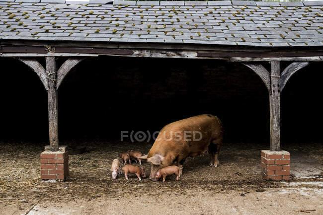 Tamworth semina con i suoi maialini in un fienile aperto in una fattoria. — Foto stock