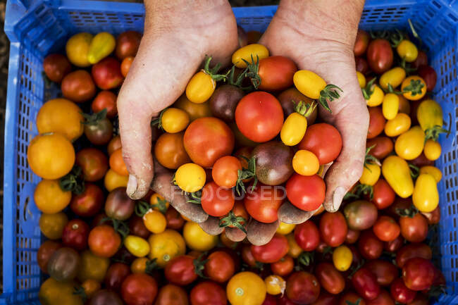 High angle close up of person holding bunch of freshly picked cherry tomatoes. — Stock Photo