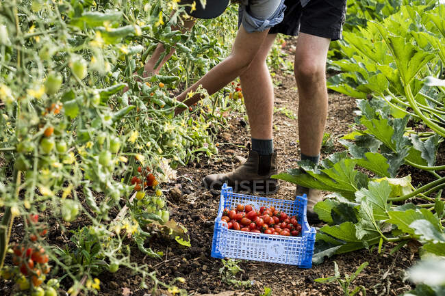 High angle close up of person picking cherry tomatoes on a farm. — Stock Photo