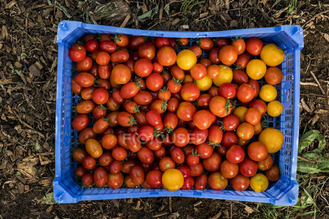 Alto ángulo de primer plano de tomates cherry recién recogidos en caja de plástico azul. - foto de stock