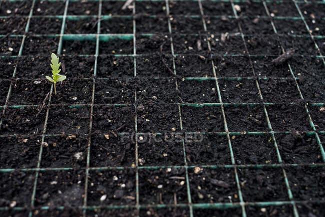 Alto ángulo de acercamiento de plantas jóvenes en bandejas de semillas. - foto de stock