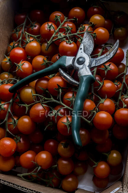 High angle close up of freshly picked tomatoes on the vine and a pair of secateurs. — Stock Photo