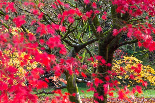 Осенние листья на кленовых деревьях, Англия, Великобритания — стоковое фото
