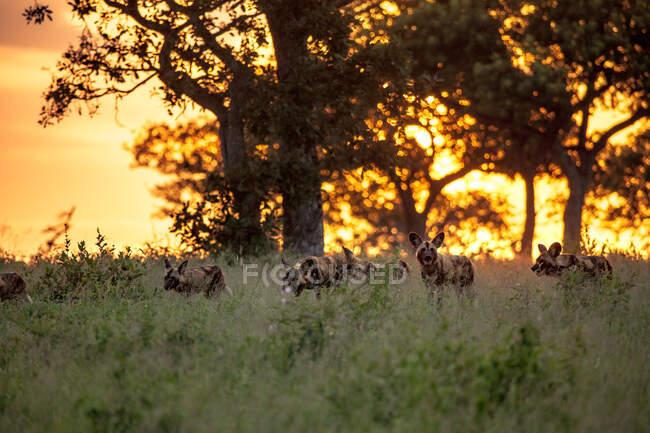 Un branco di cani selvatici, Lycaon pictus, che camminano attraverso l'erba durante il tramonto. — Foto stock