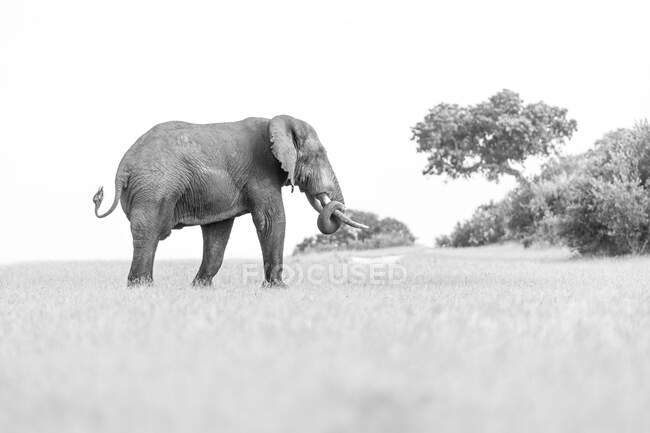 An elephant, Loxodontaafricana, walking through a clearing, back to camera, trunk curled, black and white. — Stock Photo