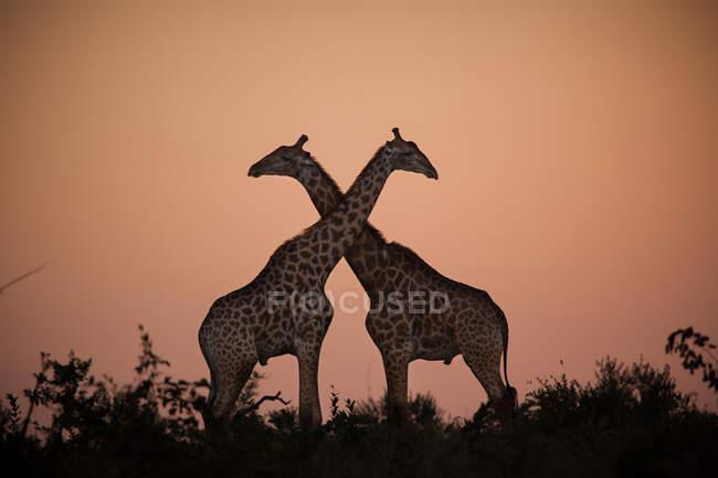 Due giraffe, Giraffa giraffa, sagomate contro il tramonto, collo incrociato. — Foto stock