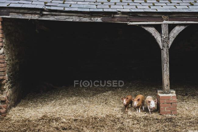 Tre maialini rossi in piedi sulla paglia in un porcile. — Foto stock