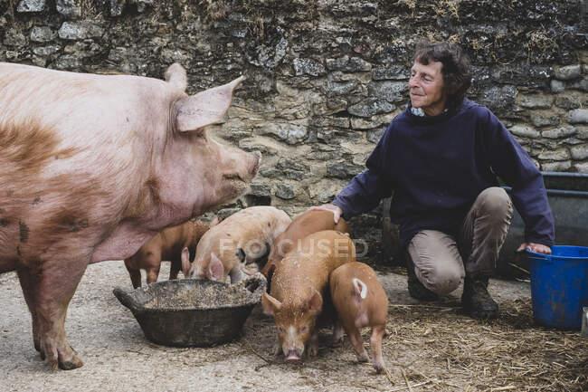 Donna che nutre scrofe e maialini Tamworth in una fattoria. — Foto stock