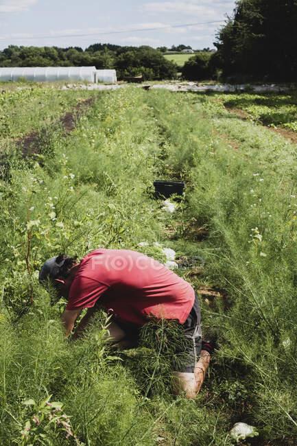 Фермер на коленях в поле, собирает укроп. — стоковое фото