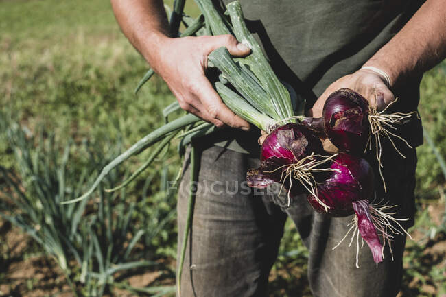 Farmer standing in a field holding freshly picked red onions. — Stock Photo