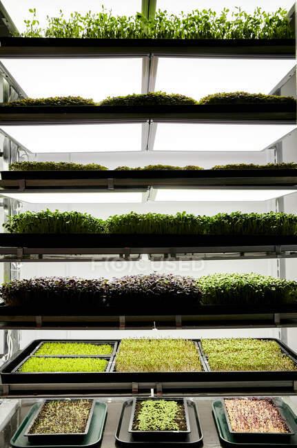 Bandejas de mudas microverdes que crescem na fazenda urbana — Fotografia de Stock