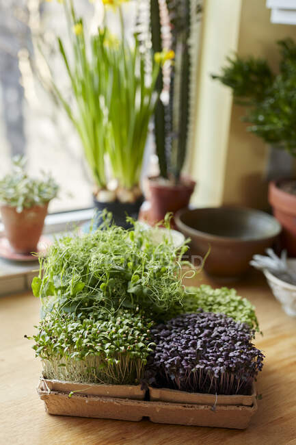Microgreens growing in tray on wooden surface at home — Stock Photo