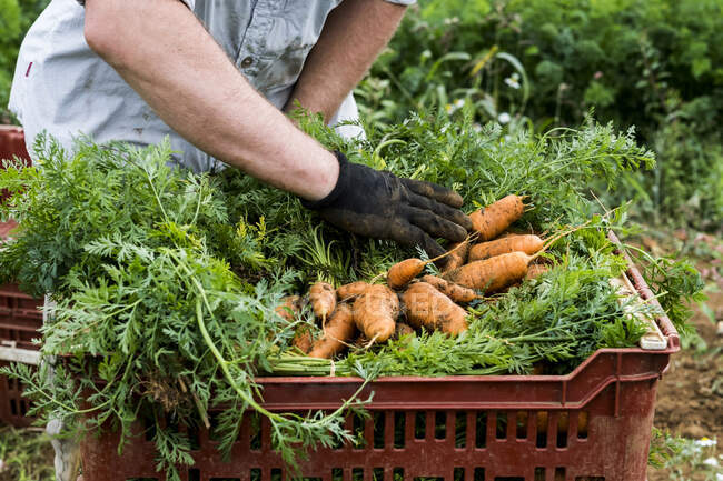 Farmer standing in a field, packing bunches of freshly picked carrots into plastic crates. — Stock Photo