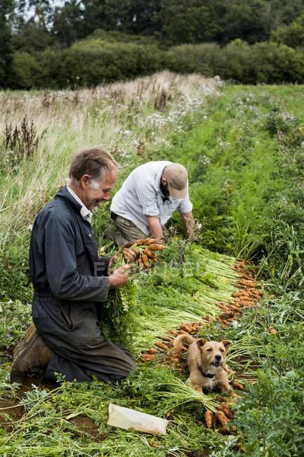 Два фермери стають навколішки на полі, тримаючи в руках пучки свіжої моркви.. — стокове фото