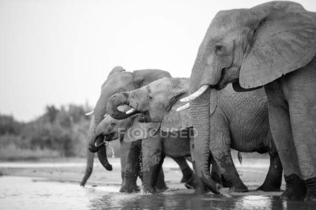 A herd of of elephant, Loxodonta africana, drinking together from a river, black and white. — Stock Photo