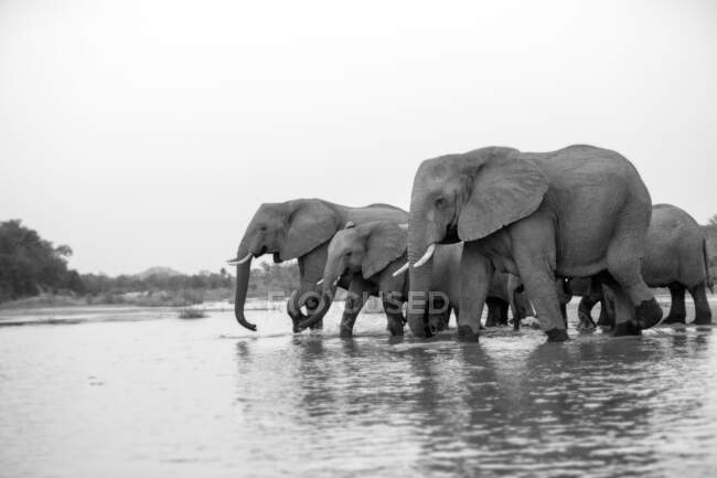 A herd of of elephants, Loxodonta africana, drinking together from a river, black and white. — Stock Photo