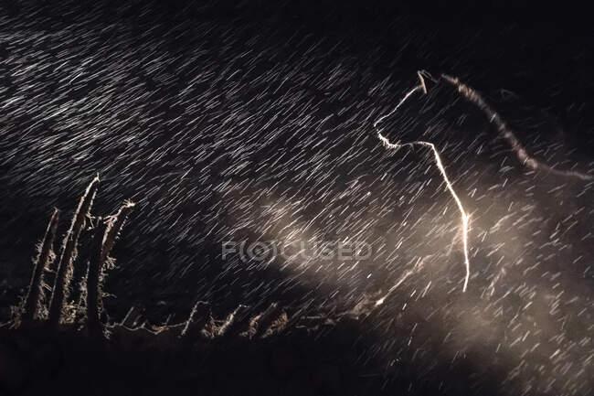 Una hiena manchada, Crocuta crocuta, parada en la oscuridad bajo la lluvia, iluminada por un foco - foto de stock