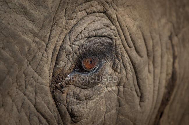 An elephant eye, Loxodonta africana — Stock Photo
