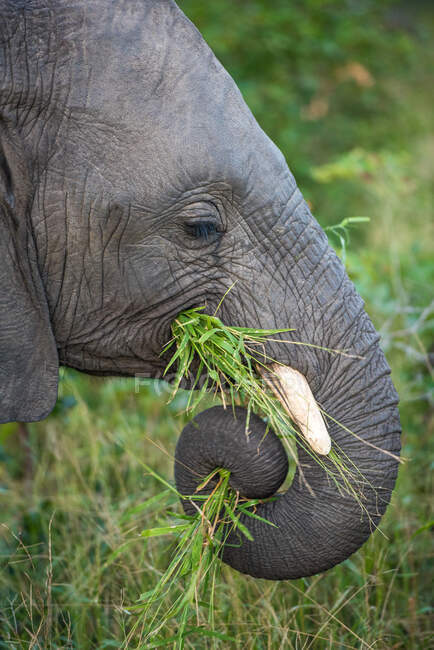 The side profile of an elephant, Loxodonta africana, trunk coiled while eating grass — Stock Photo