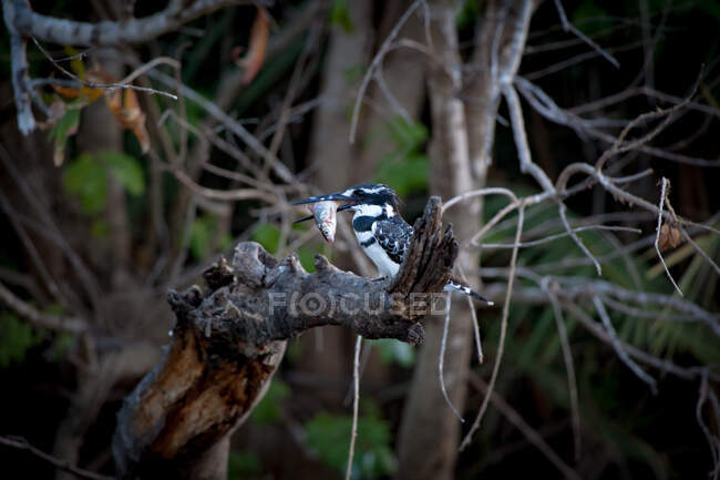 A pied kingfisher, Ceryle rudis, sitting on a branch with a fish in its beak — Stock Photo