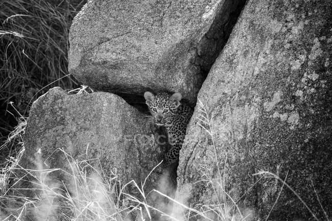 Un cachorro de leopardo, Panthera pardus, mirando entre grietas en grandes rocas, en blanco y negro - foto de stock