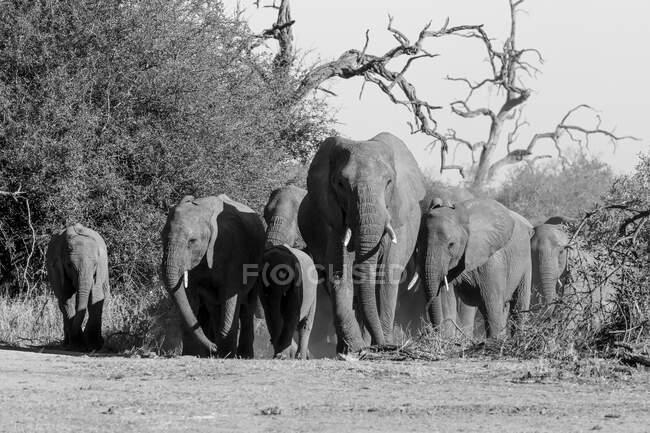 A herd of elephants, Loxodonta africana, walking towards camera, in black and white — Stock Photo