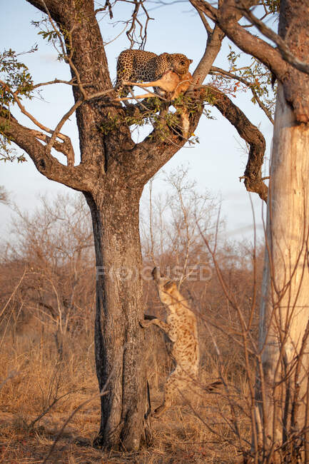 A leopard, Panthera pardus, standing in a tree with a kill as a spotted hyena, Crocuta crocuta, jumping up towards the tree — Stock Photo