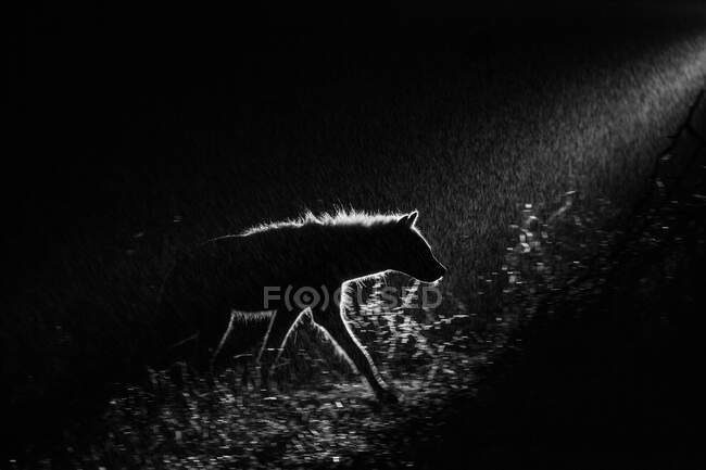 Una iena maculata, Crocuta crocuta, che cammina nell'oscurità, retroilluminata da un riflettore — Foto stock