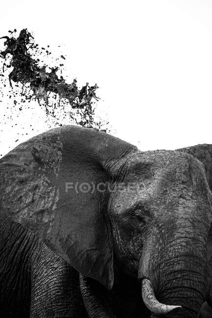 An elephant, Loxodonta africana, throwing mud over its back, in black and white — Stock Photo