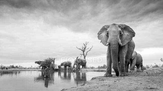 A herd of elephants, Loxodonta africana, standing around a waterhole, in black and white — Stock Photo