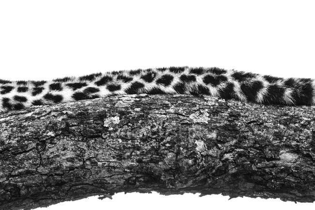 The tail of a leopard, Panthera pardus, lying on a tree branch, in black and white — Stock Photo