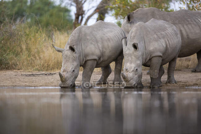 White rhinos, Ceratotherium simum, drinking together at a waterhole — Stock Photo