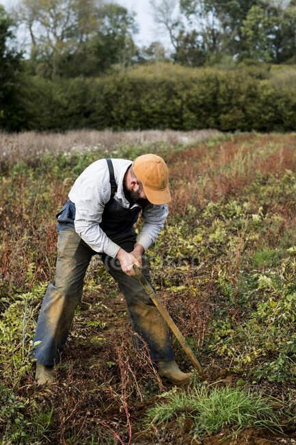 Farmer standing in a field, harvesting parsnips. — Stock Photo