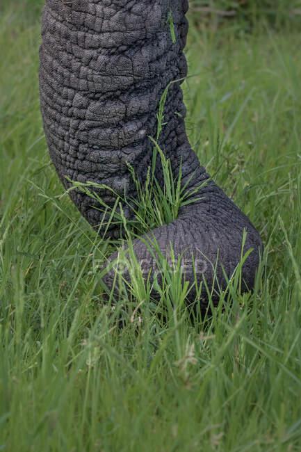An elephant trunk, Loxodonta africana, wrapping around some grass — Stock Photo