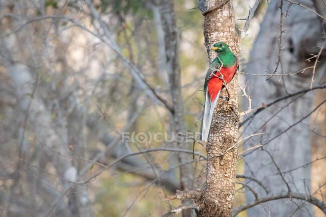 Narina Trogan, Apaloderma narina, sitting on a branch — Stock Photo