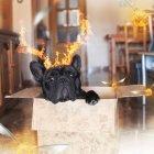 Schwarzer Hund mit Hörnern aus Feuer — Stockfoto