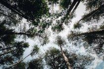 Вершины дерева, видно из ниже — стоковое фото