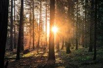 Сонячними променями крізь дерева в лісі — стокове фото