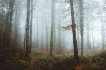 Mist in coniferous woods — Stock Photo