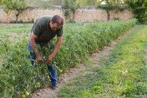 Hombre en el jardín inspeccionando la cosecha de tomates verdes - foto de stock