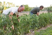 Two men inspecting harvest green tomatoes in garden — Stock Photo