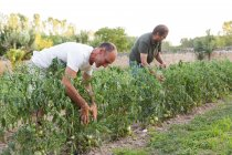 Two men working in garden and inspecting harvest green tomatoes — Stock Photo
