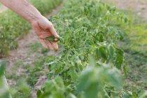 Урожай рука вищипування листя томатний в саду — стокове фото