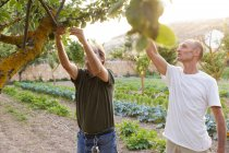 Two men harvesting green apples from tree — Stock Photo