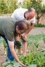 Mature men harvesting zucchini squashes at garden — Stock Photo