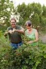 Зрелая пара собирает малину и улыбается в саду — стоковое фото