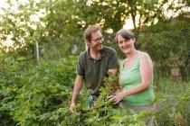 Cheerful mature couple collecting raspberries in garden — Stock Photo