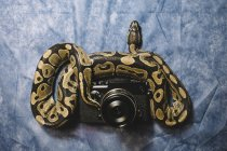 Big snake lying on vintage camera — Stock Photo