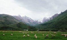 Schafe weiden im grünen Bergwiese — Stockfoto