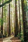 Homme debout entre les bois de Sequoia — Photo de stock